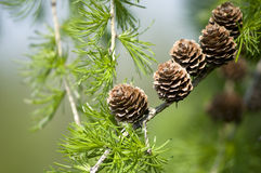 Macro of a Pine Tree Branch Royalty Free Stock Photography