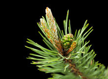 Macro of pine twig with cone Royalty Free Stock Photo
