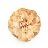 Macro of Pinecone. On White Background Royalty Free Stock Photography