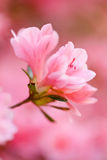 Pink azalea close up Royalty Free Stock Photo