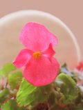 Macro pink bloom. Begonia bloom Royalty Free Stock Photography