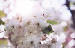 Macro pink blossom cherry tree in spring garden, sakura tree on background closeup, beautiful romantic flowers for card clean. Space for text, blooming flora royalty free stock photos