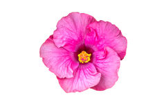 Macro of pink China Rose flower (Chinese hibiscus, Hibiscus rosa Royalty Free Stock Photo