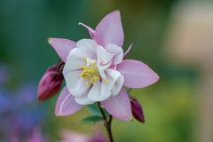 Macro of a pink columbine flower royalty free stock image