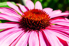 Macro of a pink Cone flower Stock Image