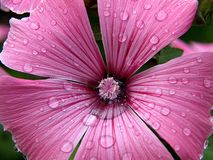 Water drops like diamonds on a pink hollyhock flower stock images