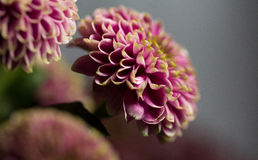 Macro of pink Dahlia flower close up. At springtime, grey background Royalty Free Stock Photography