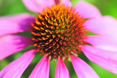 Macro pink daisy Royalty Free Stock Photography