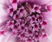Macro of pink daisy. Close up of pink daisy stock photos