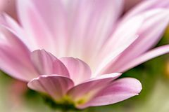 Macro of a pink daisy. Close-up photo of a spring time pink flower petals Stock Images