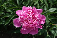 Macro of pink double-flowered common peony Royalty Free Stock Photos