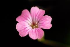 Macro pink flower. In black background Royalty Free Stock Photo
