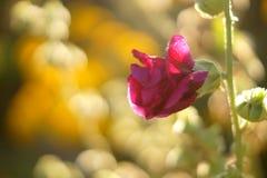Macro pink flower. Macro bud of pink mallow flower Stock Photography