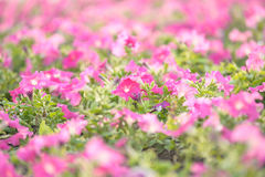 Macro pink flower. Close-up group of pink flower in park of bangkok thailand Stock Photography