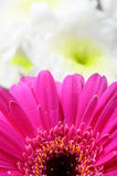 Macro of pink flower daisy Stock Photo