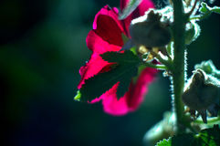 Macro pink flower. Macro pink mallow flower on dark backside Stock Photography
