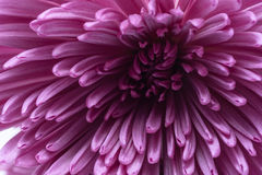 Macro pink flower petals. Pink petals from flower in macro photo Stock Photo