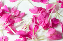 Macro of pink flower petals. On white background Stock Photos