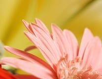 Macro of pink flower. On yellow background Stock Image