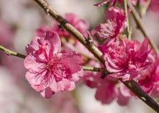 Macro of pink flowering peach Stock Image