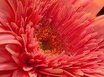 Macro Pink Gerber Daisy. Macro of a bright pink gerber daisy stock images