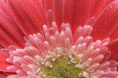 Macro Pink Gerber Daisy with Water Drops. Macro of a Pink Gerber Daisy with Water Drops Royalty Free Stock Photo