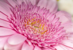 Macro of pink Gerbera Stock Image