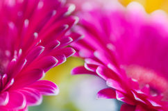 Macro pink gerbera daisies Stock Photos