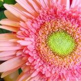 Macro Pink Gerbera Daisy 1 Royalty Free Stock Photography