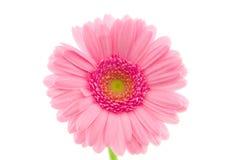 Macro of a pink gerbera Royalty Free Stock Photos
