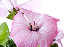 Macro Pink Hibiscus Flower Stock Photo