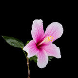 Macro pink hibiscus flower. Studio shot isolated on black. Background Stock Image