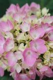 macro of pink hydrangea stock photos