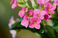 beautiful pink kalanchoe stock photography