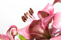 Macro pink lily Royalty Free Stock Photography