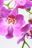 Macro of pink orchid flower Royalty Free Stock Image