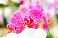 Macro of pink orchid flower on colorful bokeh royalty free stock photo