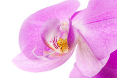 Macro of pink orchid flower isolated on white Stock Images