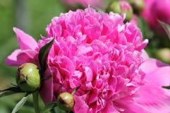 Macro of Pink Peonies Flower Royalty Free Stock Images