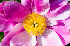 Macro of a pink peony Royalty Free Stock Photo