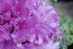 Macro pink plant with water droplets Stock Photos