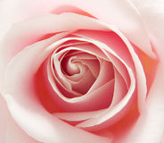 Macro of pink rose Royalty Free Stock Photography
