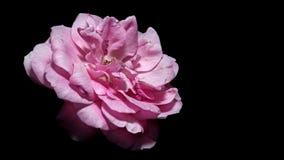 Macro, Pink rose flower , black background. Macro shot of Pink rose flower , black background Stock Photo