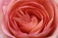 Macro of pink rose heart Royalty Free Stock Images
