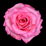 Macro of Pink Rose Isolated on Black Stock Photography