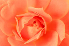 Macro Pink Rose Pedals Stock Photos