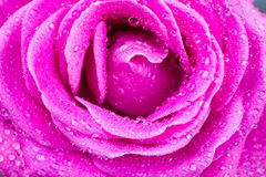 Macro of pink rose with water drops Stock Images
