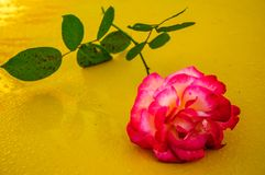 Macro rose with yellow background 2 royalty free stock photos