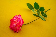 Macro rose with yellow background 3 stock image