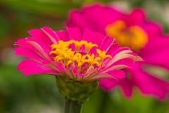 Macro Pink Straw flower Stock Photos